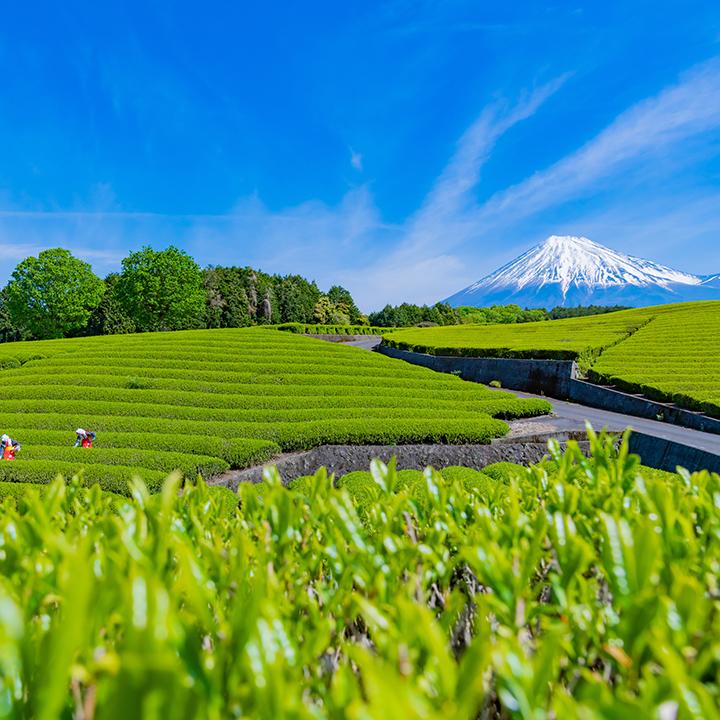 静岡と言えばお茶!
